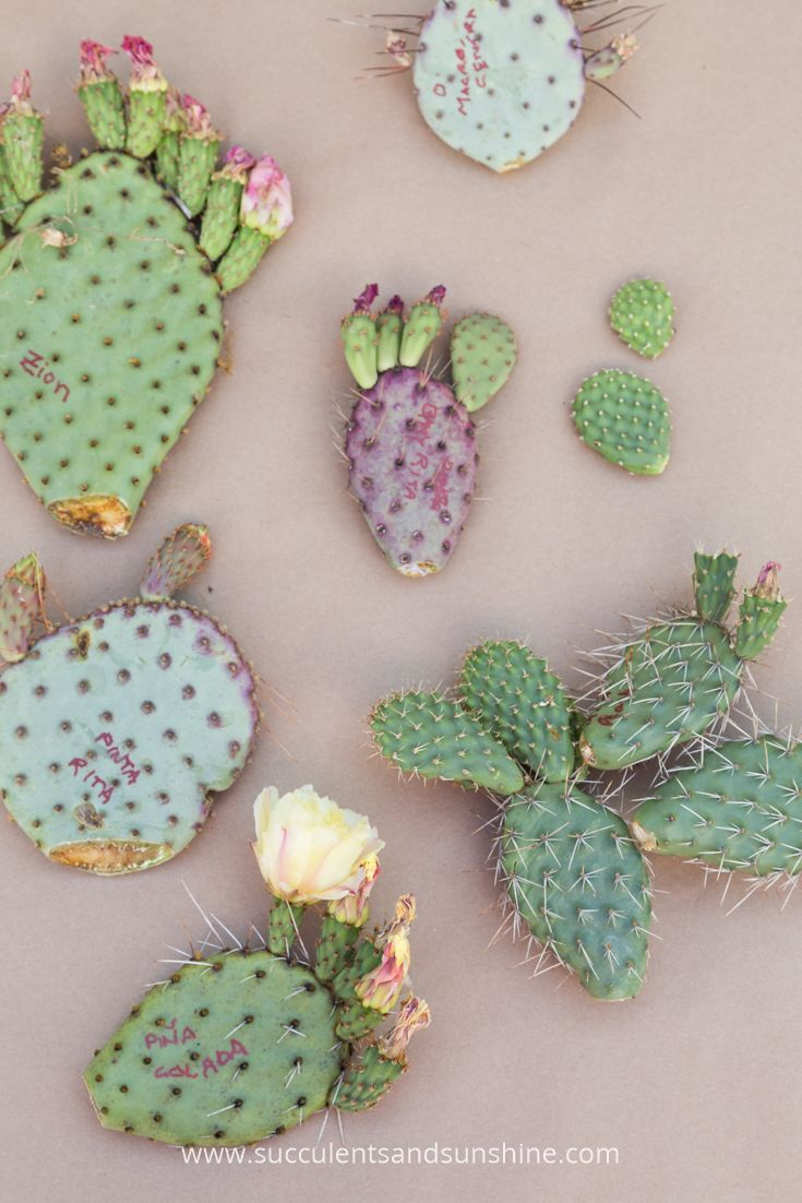 All of these Opuntia cacti can be grown from a single pad! Learn how in this post!