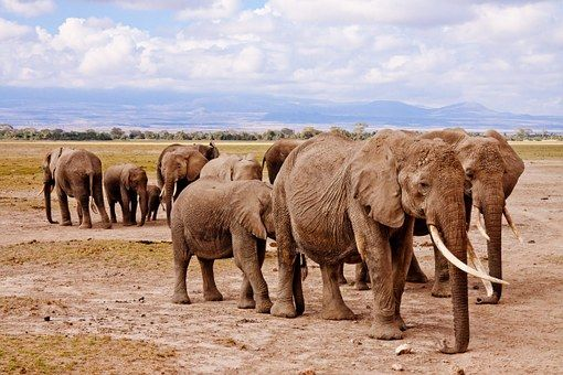 Słonie, Afryka, Amboseli, Zwierząt