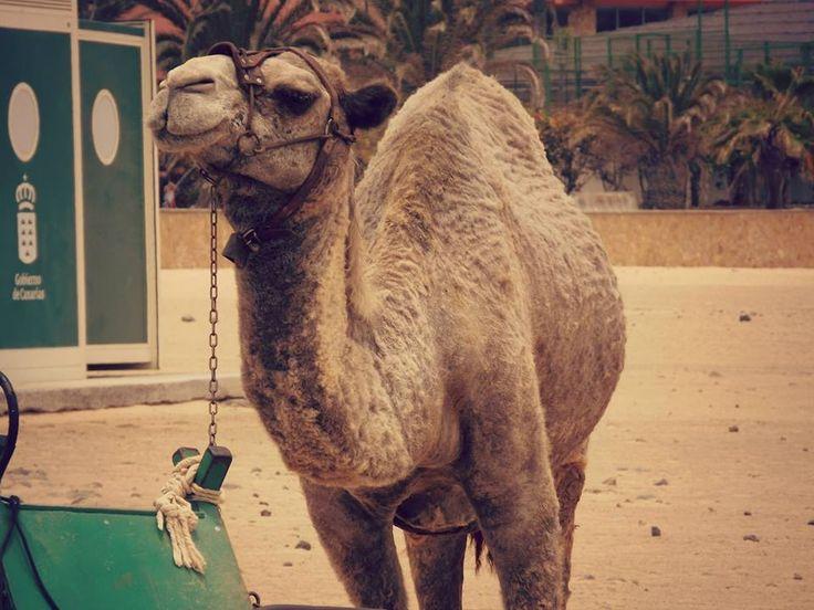 #Photography #Camel #Animal #Beach #Spain #Sand #Smiley :)