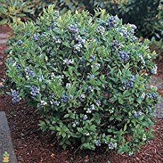 Find out how to grow buckets full of delicious, juicy, healthy blueberries no matter where you live. This total guide is easy to follow and full of facts.