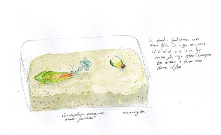 Graptopetalum paraguayense . Planta fantasma .