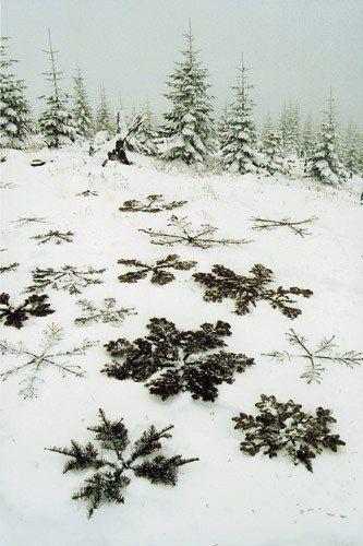Coniferous snowflakes.