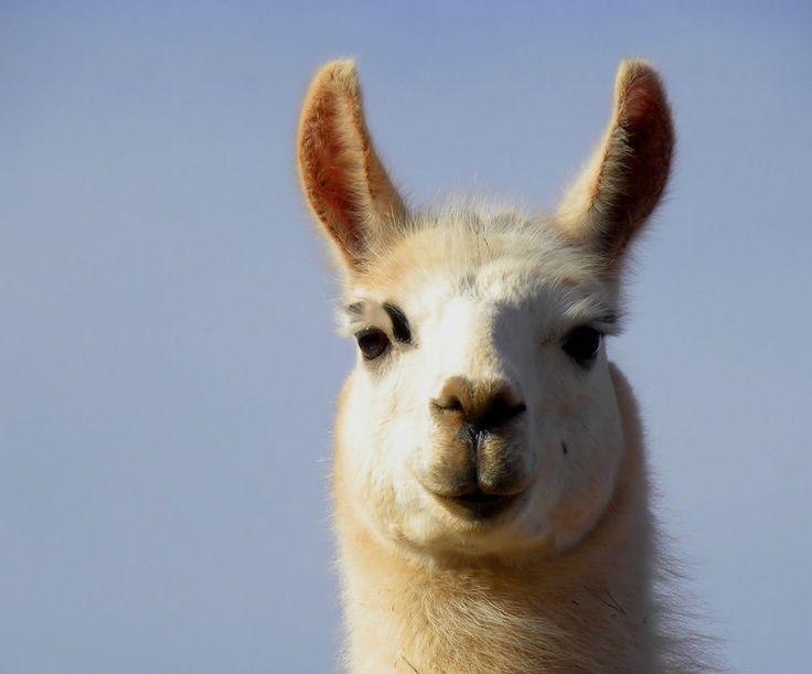 Best 25+ Llama Pictures Ideas On Pinterest