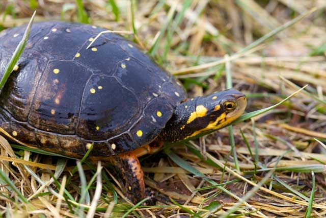 If you've ever seen a Spotted turtle in the wild you are one lucky person. These small turtles with black shells and bright yellow spots are not difficult to pick out of a lineup, but that doesn't make them easy to find. They are so rare that spotting a Spotted turtle is as difficult to do as it is to say and that's why they need your help.