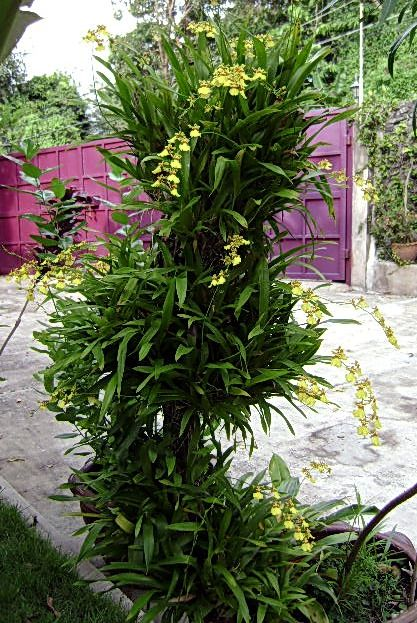 Oncidium Orchids | Mounted Oncidium Orchids for ONCIDIUM Lovers!