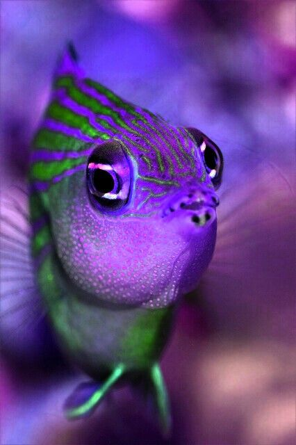 A Gorgeous Purple  Green Striped Fish, looks very elegant, with an intense set of eyes!