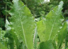 Cool Wildkr uter L wenzahn Wurzeln EntfernenBallaststoffeKraut