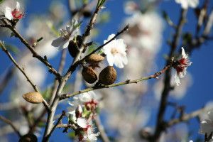 Almond blossoms and the fruit which is found in almond tea.