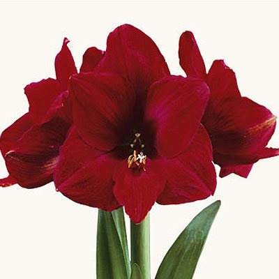 17 best images about amaryllis on pinterest apple. Black Bedroom Furniture Sets. Home Design Ideas