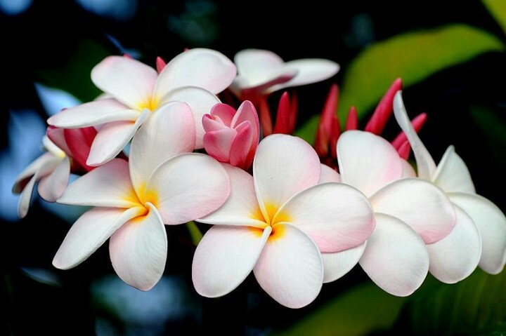 17 best images about florida plants on pinterest trees palm trees and bird of paradise for Olive garden duncanville tx 75116