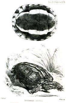 Brown wood turtle - Wikipedia