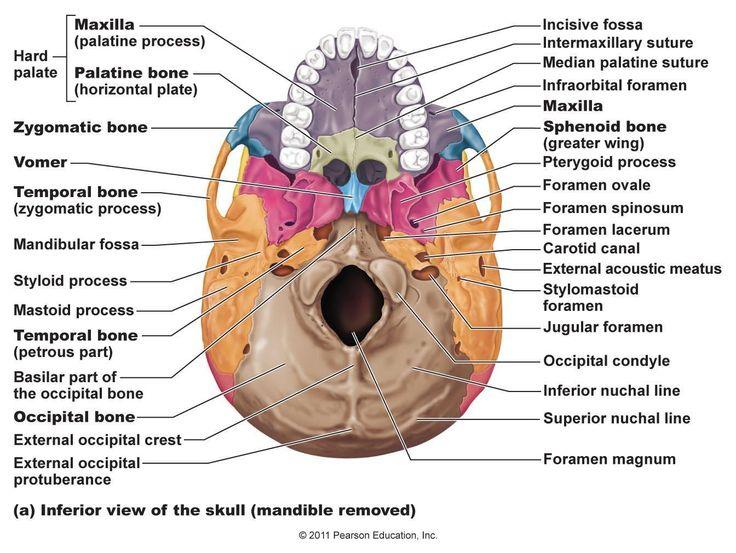 skeletal bones from head to toe | Palatine Bones (2) (Facial bones)