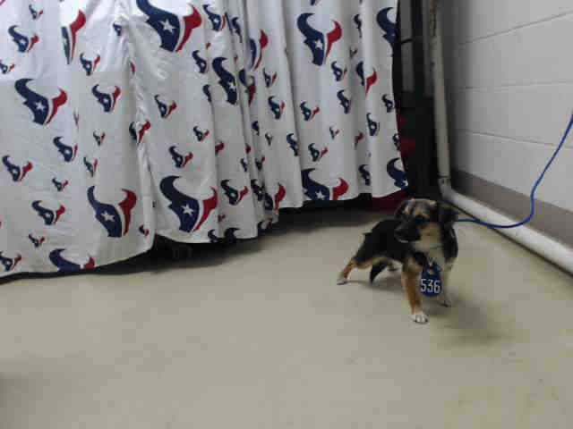 01/20/17 - HOUSTON - SUPER URGENT This DOG - ID#A475953 I am a female, black and brown Beagle and Chihuahua - Smooth Coated. My age is unknown. I have been at the shelter since Jan 20, 2017. This information was refreshed 3 minutes ago and may not represent all of the animals at the Harris County Public Health and Environmental Services.