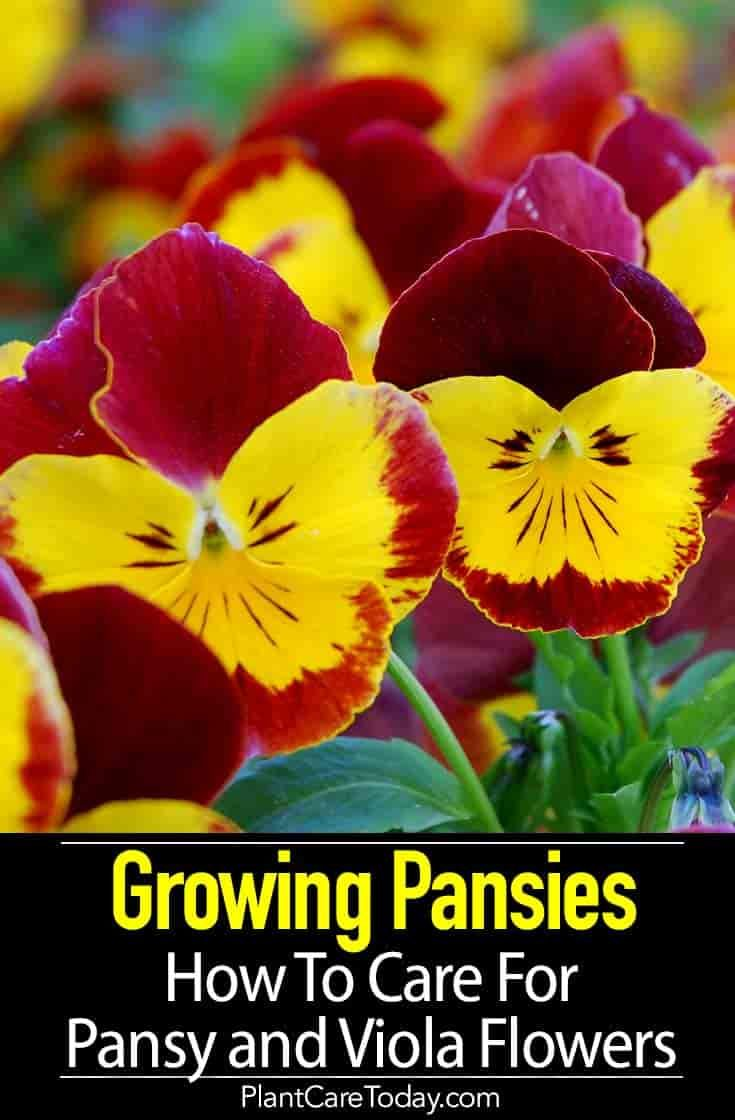 Growing Pansies How To Care For Pansy And Viola Flowers Viola Flower Easy To Grow Flowers Pansies Flowers