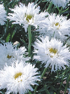 I grew these this year. Low growing, good for front of borders. Leucanthemum 'Aglaia' Shasta Daisy: Full Sun, perennial, blooms all summer if deadheaded, divide every 2-3 years. So fluffy & pretty!