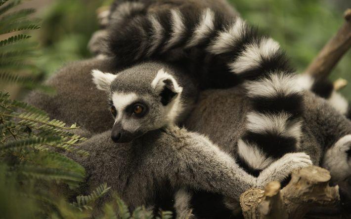 Download wallpapers lemur, wildlife, rare animals, Madagascar, fauna