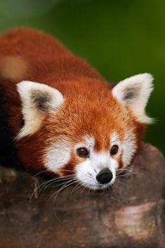ZooParc de Beauval - Le panda roux