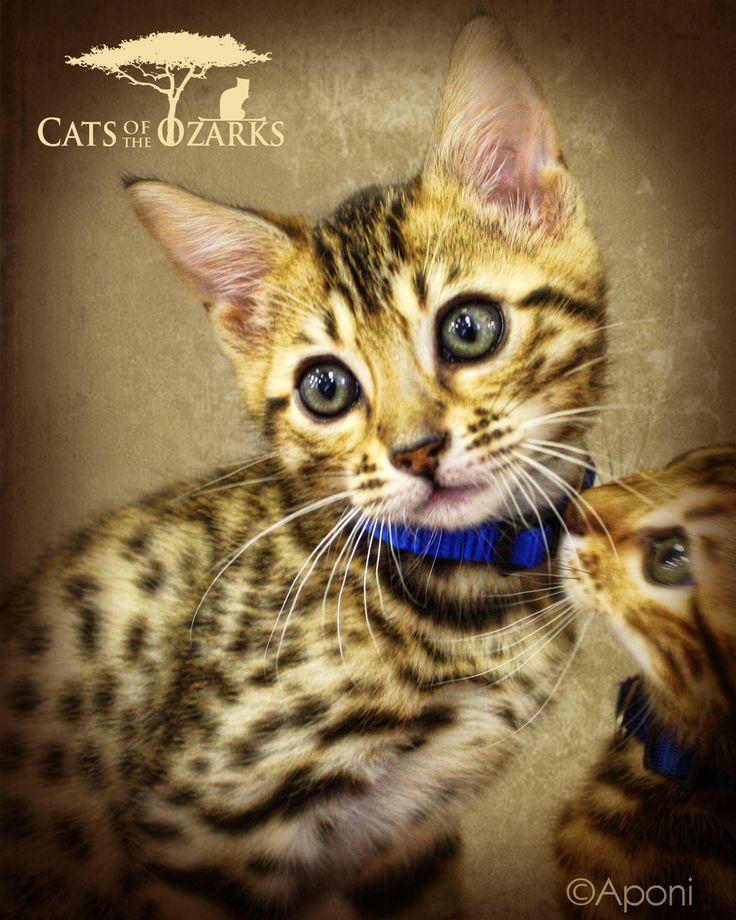 Cats of the Ozarks