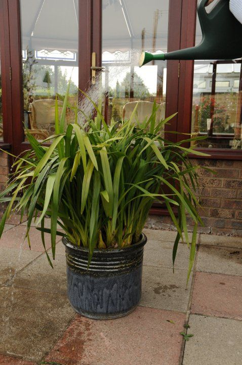 Cymbidium Care | How to Care for your Cymbidium Orchids