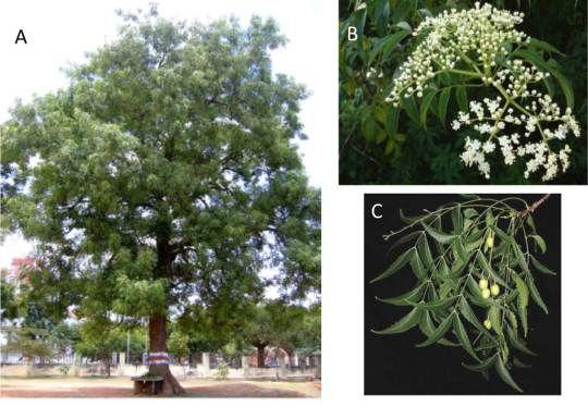 A) Ejemplar de un árbol neem adulto. B) Flor de neem. C) Frutos de neem.