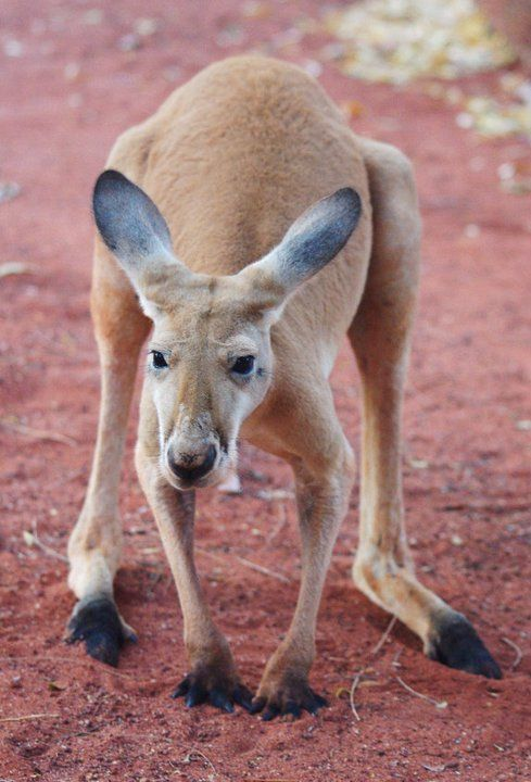 a study on the popular mammal of australia the kangaroo Australia is the land of the pouched mammals (marsupials) the best known australian animal is obviously the kangaroo in contrast with koalas there are lots of kangaroos in australia and it's quite easy to see them in the wild.