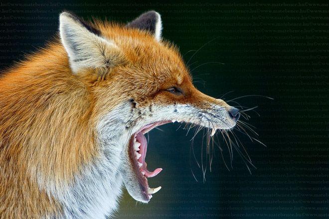 Copyright : © Bence Mate, tous droits réservés - fox