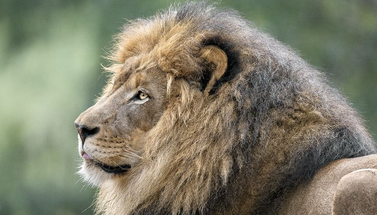 It likely began with their powerful presence, and our fascination is revealed in the numerous depictions of lions in art as well as on shields, banners, flags, and countless bits of ephemera. It's a reverence that continues today. But our lionization (we even invoke... #bigcats #lions #sandiegozoo