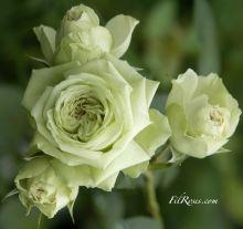 Fil Rose - Inglesi rosa, rosa Bush Antiche rosa