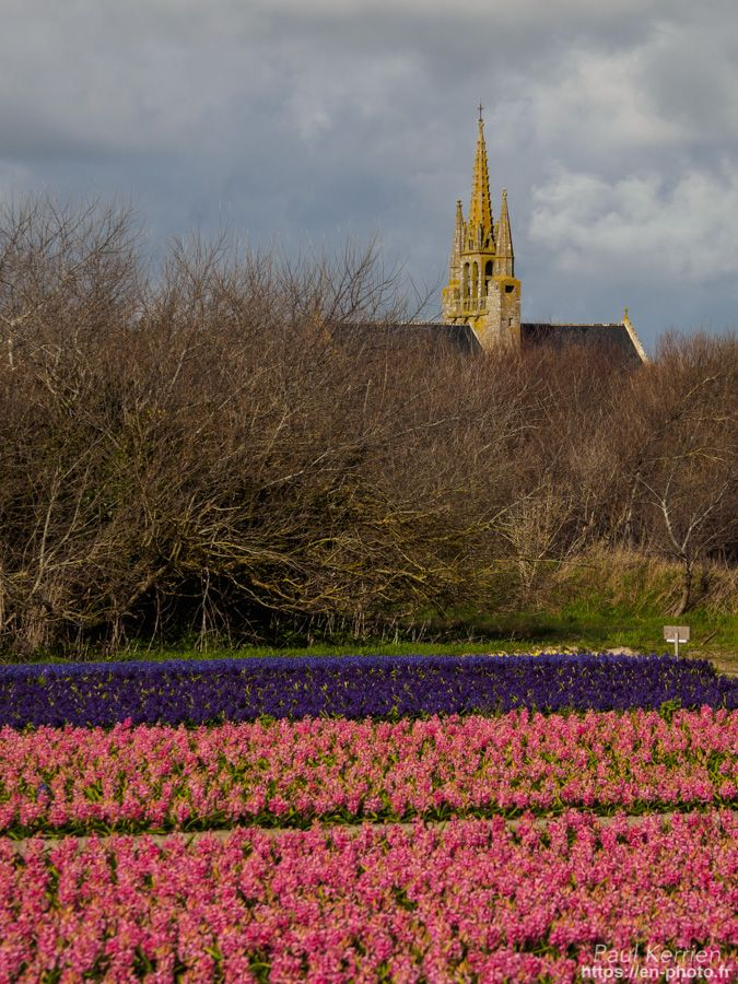 balade du côté de Tronoën : champ de jacinthes  - à Saint Jean Trolimon  © Paul Kerrien 2018 https://en-photo.fr Finistère Bretagne bigouden