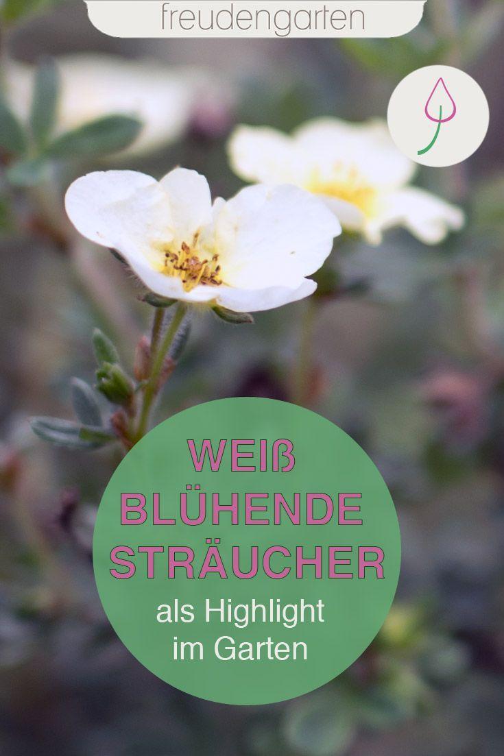 Weiß Blühende Stauden : wei bl hende str ucher in 2020 mit bildern winterharte stauden str ucher garten wei ~ Watch28wear.com Haus und Dekorationen