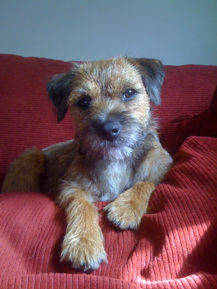 Rizzo the border terrier