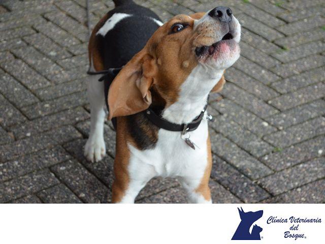 LA MEJOR CLÍNICA VETERINARIA DE MÉXICO. Entre las razas de perros que más ladran se encuentran: Los pastor de Shetland, considerados por muchos como los perros más ladradores que existen. El chihuahua, el pekinés, el Bedlington terrier, el Australian silky terrier, el Yorkshire terrier, el beagle, el basset hound y el basset artesiano de Normandía, entre otros. En Clínica Veterinaria del Bosque, te invitamos a visitar nuestra página web para conocer acerca de nosotros…