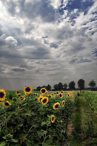 What is more beautiful than a field of sunflowers?