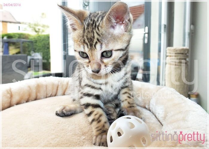 Bengal cats for sale east yorkshire