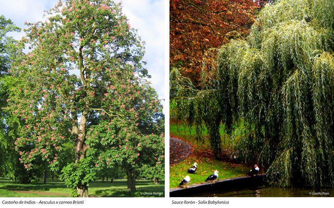 Castaño de indias - Aesculus x carnea Briotii y Sauce llorón - Salix Babylonica