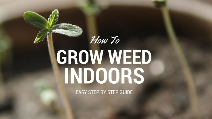 This step by step marijuana grow guide will teach you how to grow weed indoors the easiest way and with the least amount of money invested from the beginning.