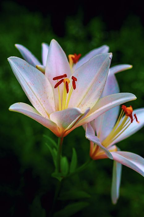 George Westermak Photograph - Flowers Lilies Symbolize Purity And Chastity by George Westermak#GeorgeWestermakFineArtPhotography #ArtForHome #FineArtPrints #Flowers