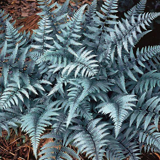Athyrium 'Ghost' (Ghost fern)