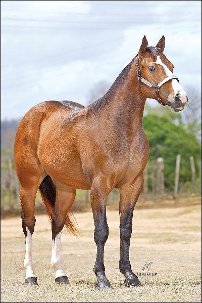 25+ melhores ideias sobre Cavalo Quarto De Milha no Pinterest ~ Wallpaper Cavalos Quarto De Milha