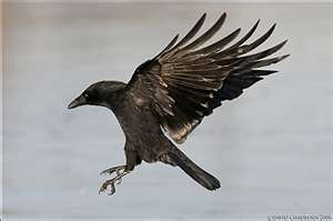 Intelligence- As a group, crows show remarkable examples of intelligence. Crows and ravens often score very highly on intelligence tests. Certain species top the avian IQ scale