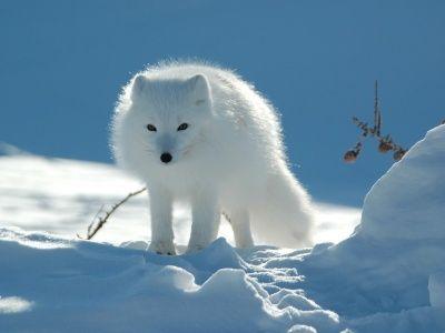 Estos mecanismos le permiten a los animales mantener su temperatura corporal constante... de lo contrario, morirían. Protecciones contra el frío