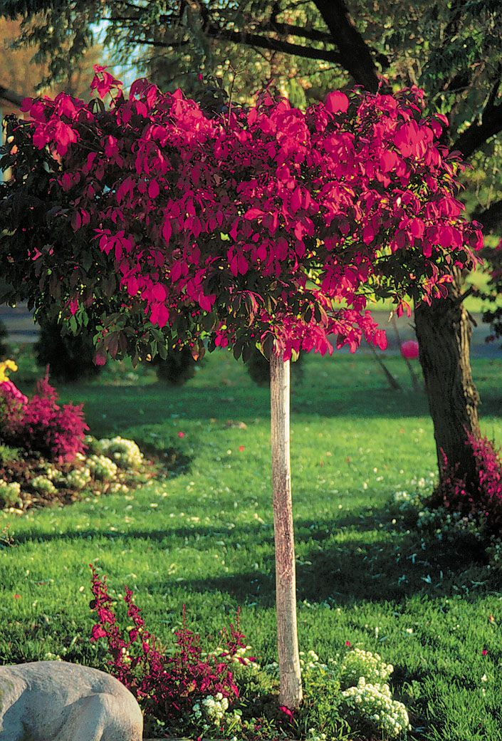 Burning Bush, tree form - as a focal tree in the left street ...
