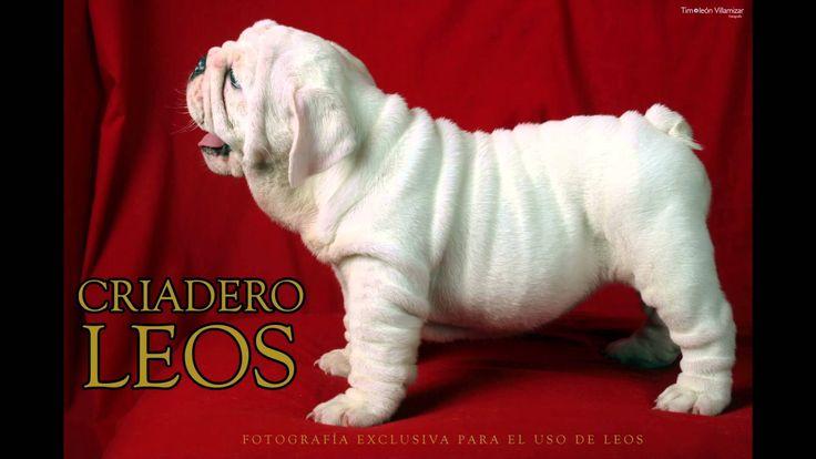Venta de Cachorros Bulldog Ingles
