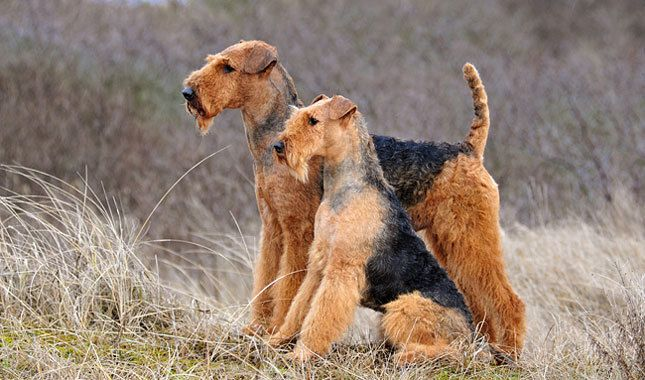 Two Airedale Terrier's what beautiful dogs, and such a gorgeous sight to see!!!