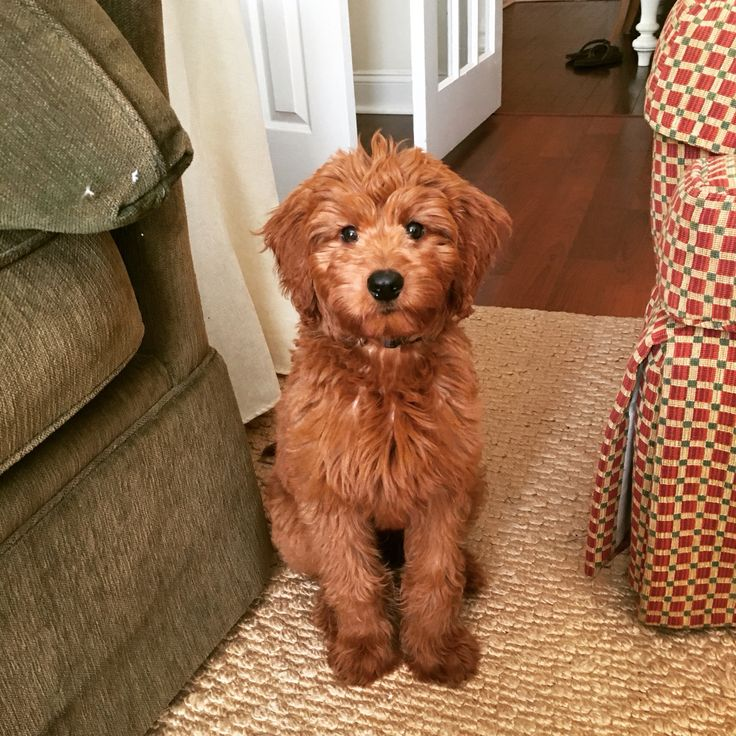 Medium F1b Goldendoodle