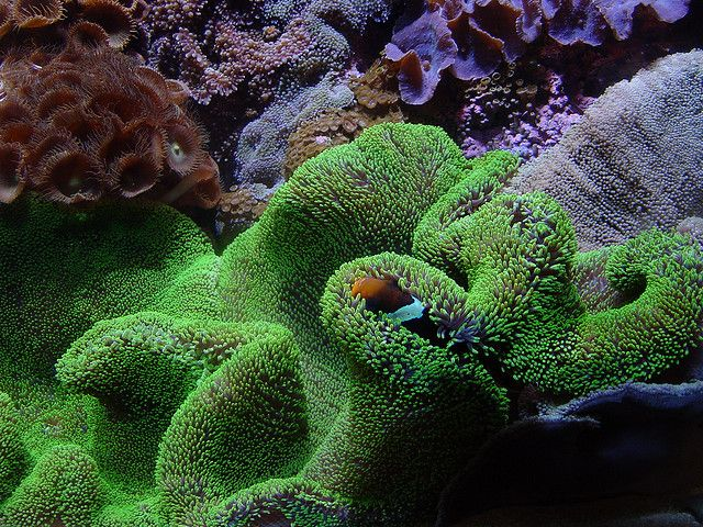 Sea Anemone and Clownfish   Under The Sea   Pinterest