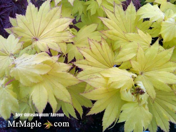 The bright yellow of the Golden Full Moon maple (A.shir. 'Aureum') available at MrMaple.com
