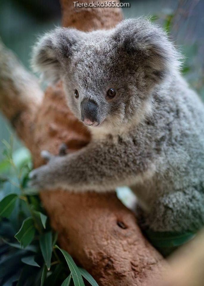 Tolle Skizze Des Saugling Koala Cute Wild Animals Baby Koala Koala