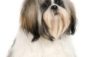 How to give a Shih Tzu puppy cut