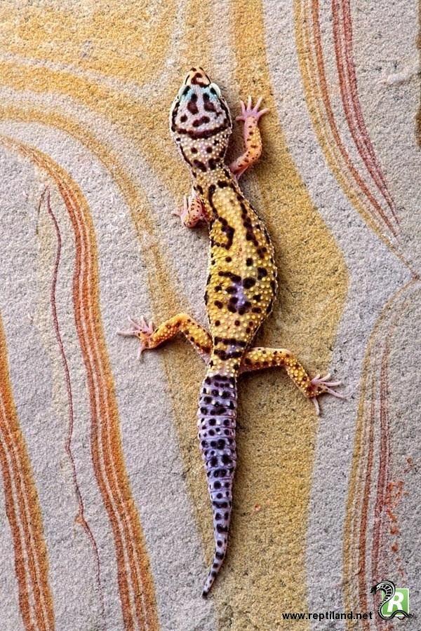 Le gecko Léopard (Eublepharis macularius) sur un support aux couleurs variées de son corps.